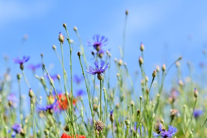 alpine-cornflower-3440640_960_720