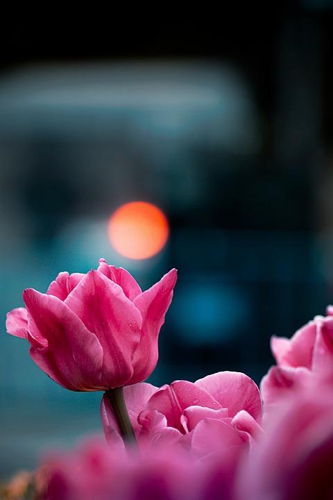 tulips-4165137_960_720